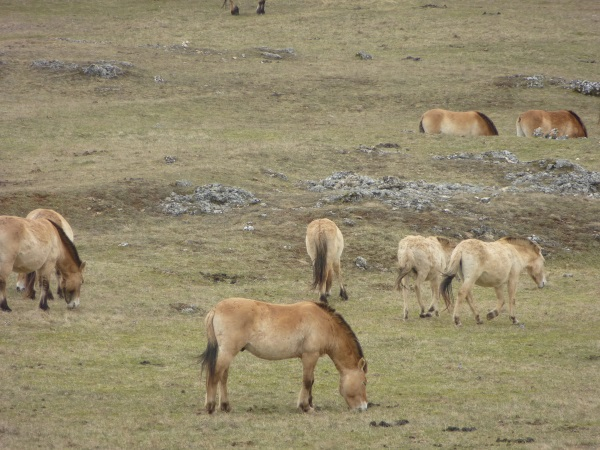 Rencontre avec les chevaux de Przewalski