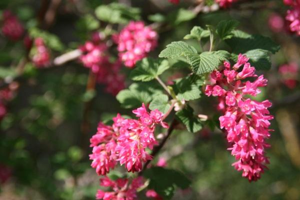Exubérance des framboisiers à fleurs