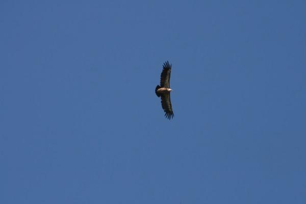 bal des vautours 004