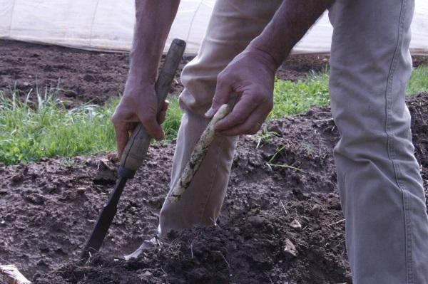 Récoltes 'asperges 005