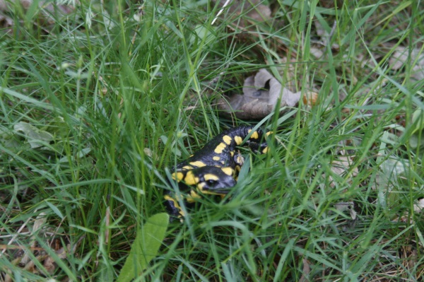 Salamandre juin 2013 026