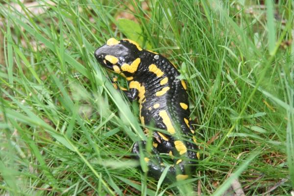 Salamandre juin 2013 029