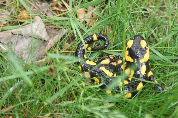 Salamandre juin 2013 030