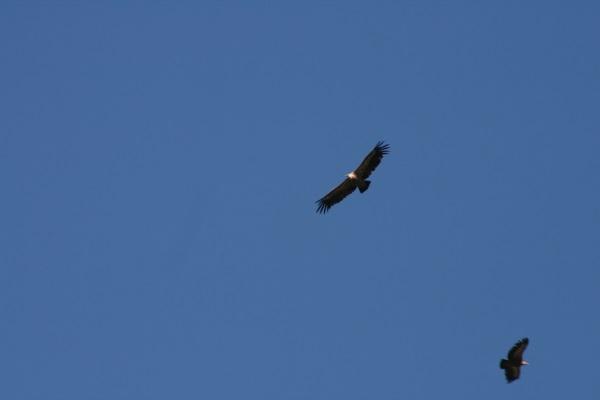 bal des vautours 001