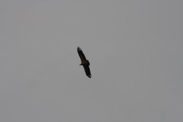 bal des vautours 018