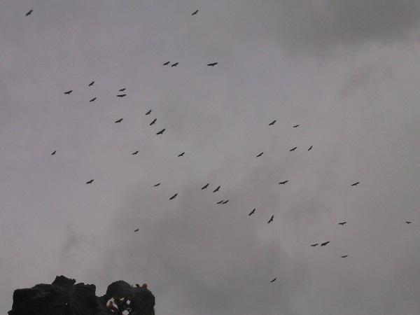 vautours 469