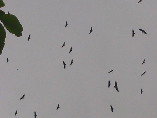 vautours 472