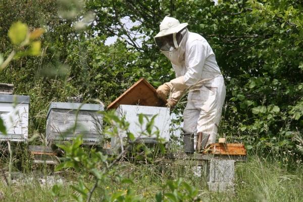 Robert ouvre le corps de ruche