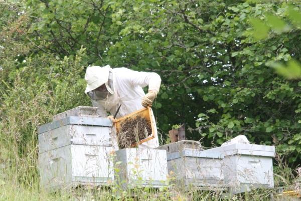 les quatre ruches sont occupées